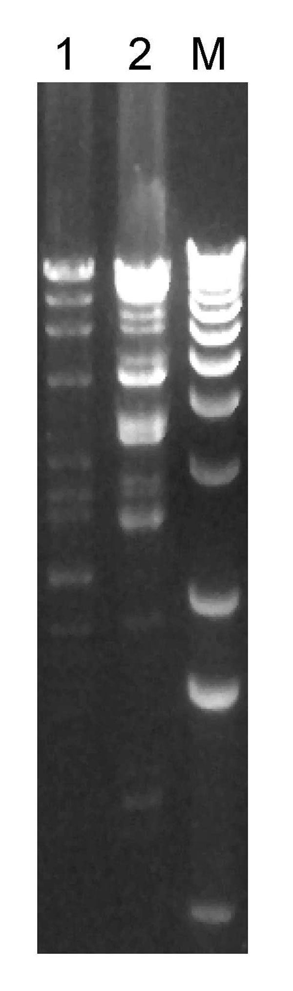 Restriction enzyme (HindIII) digest of plasmids prepared from vancomycin-resistant Staphylococcus aureus (VRSA) isolates from 2 patients in Michigan, USA, 2007. Each lane is labeled with the VRSA isolate number; lane M, 1-kb molecular marker.
