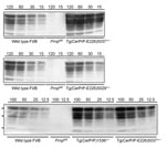 Thumbnail of Levels of transgene expression in transgenic (Tg) mice expressing deer or elk cellular prion protein (PrPC). Representative Western blot analysis of PrPC expression from different total protein loads in brain extracts from Tg mice Tg(CerPrP)1536+/–, Tg(CerPrP-E226)5029+/–, and Tg(CerPrP-E226)5037+/– compared with wild type and Prnp0/0 mice (knock-out mice for PrP gene).