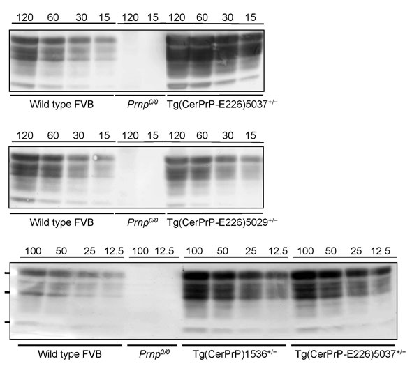 Levels of transgene expression in transgenic (Tg) mice expressing deer or elk cellular prion protein (PrPC). Representative Western blot analysis of PrPC expression from different total protein loads in brain extracts from Tg mice Tg(CerPrP)1536+/–, Tg(CerPrP-E226)5029+/–, and Tg(CerPrP-E226)5037+/– compared with wild type and Prnp0/0 mice (knock-out mice for PrP gene).