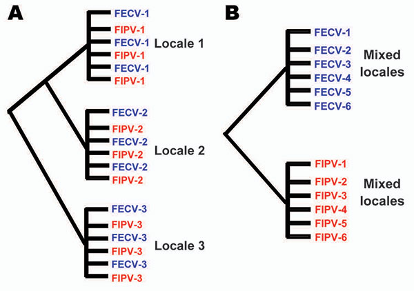 Alternative phylogenetic predictions of the in vivo mutation hypothesis versus the dual circulating virulent/avirulent hypothesis. A) The in vivo mutation transition hypothesis predicts paraphyly of feline infectious peritonitis (FIP) cases and feline enteric coronavirus (FECV) asymptomatic feline coronavirus (FCoV) isolates). B) The circulating virulent/avirulent strain hypothesis predicts reciprocal monophyly of FIV-cases versus FECV asymptomatic. Numbers represent individual cat (or locale),