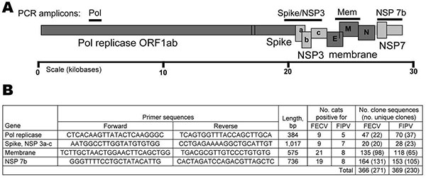A) Feline coronavirus genome indicating PCR products obtained (bars). Structural proteins are shaded in dark gray; nonstructural proteins are shaded in light gray. B) Forward and reverse primers used to amplify virus segments are listed in 5′ → 3′ orientation. The number of source cats and cloned sequences generated from feline infectious peritonitis (FIP) cases and feline enteric coronavirus (FECV) asymptomatic cats are presented. Pol, polymerase; NSP, nonstructural protein; FIPV, feline infect
