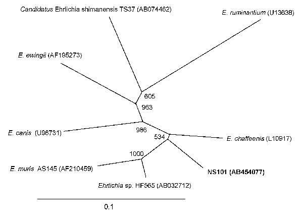 Phylogenetic relationship between the Ehrlichia chaffeensis NS101 groEL sequence (1,208 bp) (in boldface) and other Ehrlichia spp. groEL sequences. GenBank accession numbers are shown in parentheses. Numbers above internal nodes indicate the number of bootstrap replicates of 1,000 that supported the branch. Scale bar indicates percent sequence divergence.