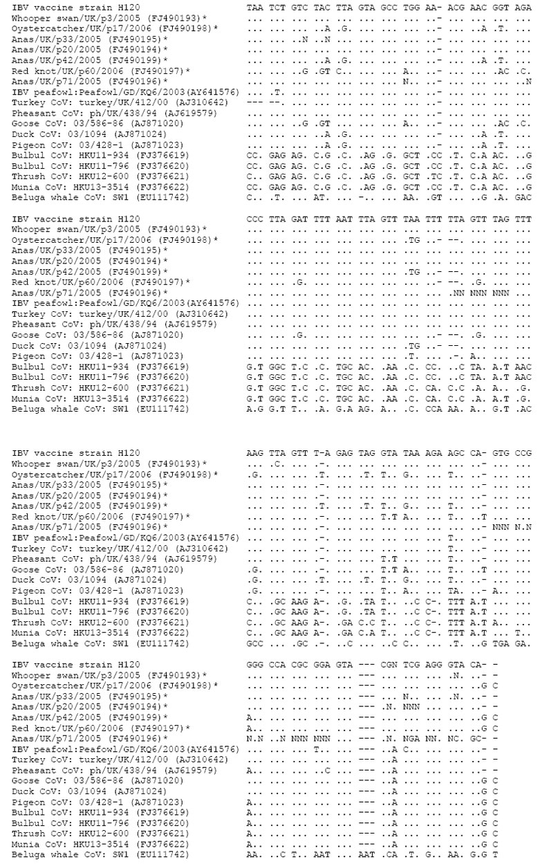 Multiple-sequence alignment of a fragment of the 3? untranslated region of coronaviruses detected in wild birds in this study and other previously published group 3 coronavirus sequences from wild birds and a beluga whale. Viruses detected by this study are marked with an asterisk. GenBank accession numbers for all sequences are shown in parentheses. Identical nucleotides are marked with a period (.). Sequences were aligned using the Clustal program within the MEGA 4.0 software package (10).