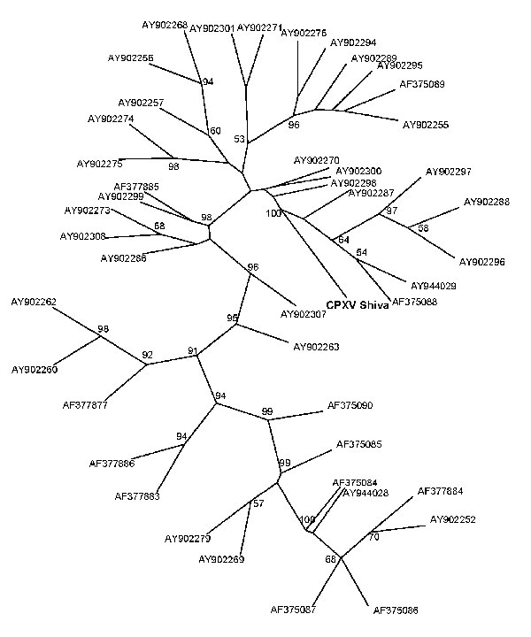 Phylogenetic tree of the isolated cowpox virus (CPXV) Shiva strain (in boldface; named after pet rat shown in Figure 1, panel A; GenBank accession no. FJ654467), constructed by the maximum-parsimony method based on the partial sequences method based on the hemagglutinin (HA) gene, unrooted. BLAST search (www.ncbi.nlm.nih.gov/blast/Blast.cgi) confirmed the identification of this strain as a CPXV strain with a unique HA gene sequence. The highest identity of 98.1% was found for strain cowHA72 (acc