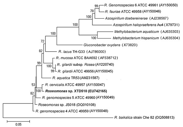 Unrooted phylogenetic tree based on 16S rRNA gene sequences of Roseomonas spp. Tree was constructed by using MEGA 4.0 software (www.megasoftware.net) and the neighbor-joining method with 1,000 bootstrap replicates. Genetic distances were calculated by using the Kimura 2-parameter correction at the nucleotide level. Bootstrap values >50% are shown. The isolate obtained in this study is shown in boldface. GenBank accession numbers of reference strains are marked after each strain name. Scale ba