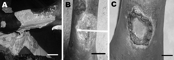 Patient 1: extensive ulcer of the right limb (A). Patient 2: ulcer of the left ankle before treatment (B) and 8 weeks after specific antimicrobial drug therapy (C). Scale bars = 12 cm (A), 5 cm (B), and 2 cm (C).