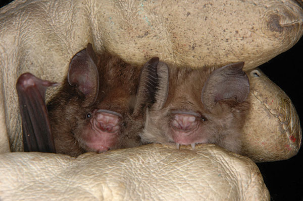Two morphotypes of Hipposideros caffer ruber bats held by one of the authors (F.G.-R.), who was wearing a leather glove. Photograph courtesy of Antje Seebens.
