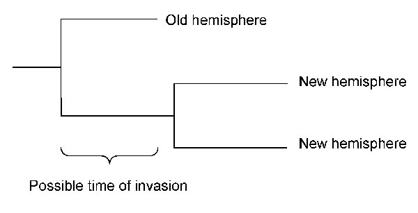 Possible period of invasion from the old hemisphere to the new hemisphere shown in a schematic tree with 2 isolates from the new and 1 from the old hemisphere.