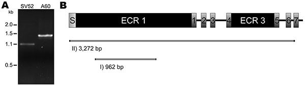 Amplification and characterization of a newly discovered open reading frame (ORF) of Streptococcus anginosus. A) Gel electrophoresis after emm-PCR on S. anginosus isolate SV52 (SV52) and S. pyogenes strain A60 (A60). The latter isolate was used as a control that possesses an emm3 gene. The S. anginosus strain generated a low concentration 1.1-kb amplicon, as compared with the 1.4-kb product of the S. pyogenes strain. Inverse PCR based on the 1.1-kb sequence of SV52 showed an ORF of 3,363 bp. Its