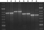 Thumbnail of Agarose gel showing the stability of amplified fragments of variable number tandem repeat (VNTR) 3336 from 2 serial isolates isolated from 4 patients. Lane 1, patient A, isolate 1, isolated 2005 Jun 20, 8 copies; lane 2, patient A, isolate 2, isolated 2005 Jul 11, 8 copies; lane 3, patient B, isolate 1, isolated 2005 Jul 8, 9 copies; lane 4, patient B, isolate 2, isolated 2005 Aug 8, 9 copies; lane 5, patient C, isolate 1, isolated 2005 Nov 11, 7 copies; lane 6, patient C, isolate 2