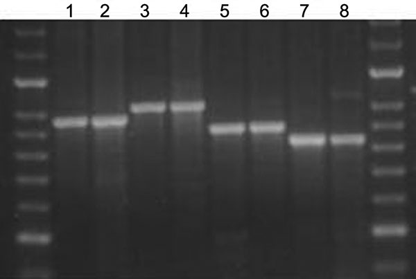Agarose gel showing the stability of amplified fragments of variable number tandem repeat (VNTR) 3336 from 2 serial isolates isolated from 4 patients. Lane 1, patient A, isolate 1, isolated 2005 Jun 20, 8 copies; lane 2, patient A, isolate 2, isolated 2005 Jul 11, 8 copies; lane 3, patient B, isolate 1, isolated 2005 Jul 8, 9 copies; lane 4, patient B, isolate 2, isolated 2005 Aug 8, 9 copies; lane 5, patient C, isolate 1, isolated 2005 Nov 11, 7 copies; lane 6, patient C, isolate 2, isolated 20