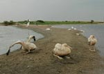 Thumbnail of Juvenile American white pelicans (Pelecanus erythrorhynchos) at Medicine Lake National Wildlife Refuge, Montana, USA, 2007, including ill (foreground) and dead (background) birds.