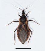 Thumbnail of Adult female kissing bug of the species Triatoma rubida, the most abundant triatomine species in southern Arizona. Scale bar = 1 cm. 