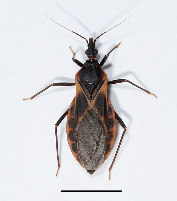 Adult female kissing bug of the species Triatoma rubida, the most abundant triatomine species in southern Arizona. Scale bar = 1 cm. 
