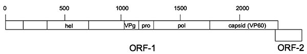 Schematic genomic organization of Michigan rabbit calicivirus consistent with a Lagovirus in the family Caliciviridae. Lagoviruses contain an initial large open reading frame (ORF), ORF-1 encoding a polypeptide that overlaps with a smaller ORF, ORF-2. Numbering indicates the corresponding amino acid codons predicated from the genomic sequence. hel, helicase; Vpg, virion protein, linked to genome; pro, protease; pol, polymerase; capsid (VP60), capsid protein VP60.