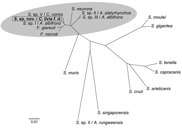 Phylogenetic comparison of novel Sarcocystis sp. with related Sarcocystis spp. Tree constructed by neighbor-joining using Kimura 2-parameter method based on the partial 18S rRNA gene comprising 1,391 bp and the D2 region of 28S rRNA gene comprising 325 bp of the novel Sarcocytis sp. (GenBank accession no. GQ245670/FJ232949) and the following available Sarcocystis sequences: Frenkelia microti (S. buteonis) (AF009244/AF044252); Frenkelia glareoli (S. glareoli) (AF009245/AF044251); S. sp. (cyst typ