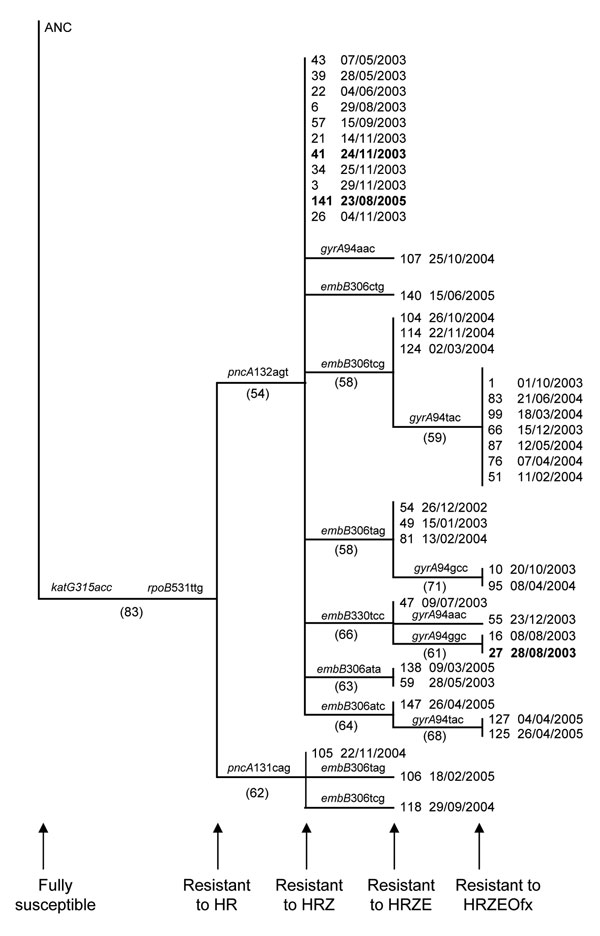 Phylogenetic history of the largest multidrug-resistant tuberculosis (MDR TB) cluster, South Africa, 2003–2005. Genetic data from isolates from 40 of the 42 case-patients were analyzed. The phylogenetic tree was constructed by using the neighbor joining algorithm (PAUP 4.0*; Sinauer Associates, Sunderland, MA, USA) and was rooted to the H37Rv wild-type DNA sequence (ANC) (20). The gene and the codon conferring resistance are indicated at the internal node where they occurred. Bootstrap values ar