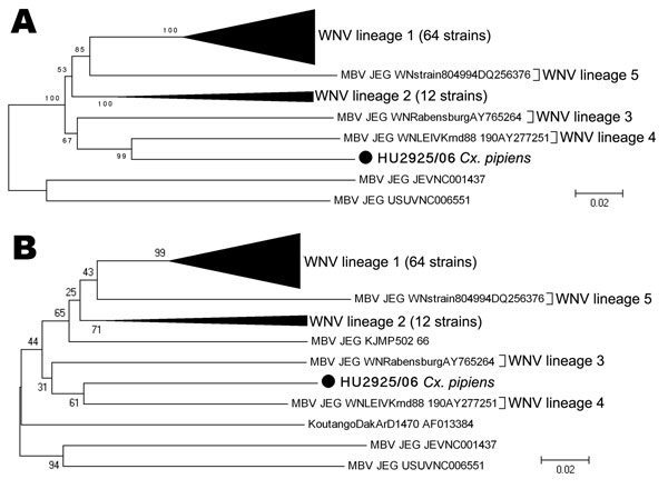 Phylogenetic tree of 79 WNV isolates by the neighbor-joining method and distance-p model on MEGA3.1 (www.megasoftware.net/mega_dos.html). Bootstrap values correspond to 1,000 replications. A) Analysis of a 1,813-nt fragment of the nonstructural protein 5 (NS5) gene. B) Analysis of the 800-nt fragment of the NS5 gene. KOUV (strain DakArD1470, AF013384) and Malaysia (strain KUN MP502–66, GU047874) (boldface) were also used to obtain this tree. Scale bars indicate nucleotide substitutions per site.