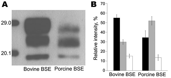 Molecular signature of bovine spongiform encephalopathy (BSE) in pigs. A) Comparative Western immunoblot analysis of the proteinase K–resistant core fragment (PrPres) of the pathologic prion protein in BSE in cattle and in an experimentally BSE-infected pig using the monoclonal antibody 6H4 (Prionics, Schlieren, Switzerland). B) Average relative intensities of the diglycosylated (black bars), monoglycosylated (gray bars), and unglycosylated (white bars) PrPres moieties as determined by the Quant