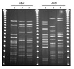 Thumbnail of XbaI and NotI pulsed-field gel electrophoresis patterns for Escherichia coli O114:H4-ST117 (lanes 2 and 3). Lane 1 is the positive control E. coli O11:H18-ST69 (SEQ102), lane 2 is an E. coli O25:H4-ST131 isolate from a retail chicken sample (EC01DT06-1737-01), and lane 3 is an E. coli isolate from a human urinary tract infection case (MSHS 1014A). Outer and center lanes are pulsed-field molecular weight markers.