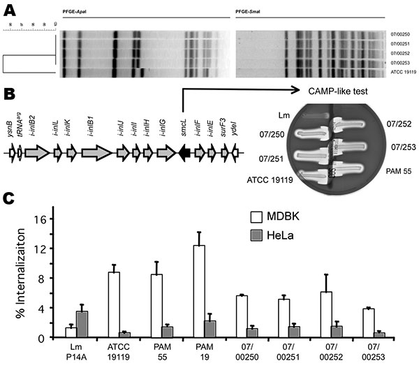 Characterization of the Listeria ivanovii subsp. ivanovii isolates from a 55-year-old man with gastroenteritis and bacteremia. A) The 4 isolates, 07/00250, 07/00251, and 07/00252 from blood, and 07/00253 from feces, were analyzed by pulsed-field gel electrophoresis (PFGE) with ApaI and SmaI restriction enzymes (9). The L. ivanovii subsp. ivanovii type strain American Type Culture Collection (ATCC) 19119 was used as control. Profiles were compared according to band positions by using the Dice coe