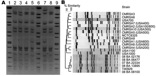 A) Pulsed-field gel electrophoresis (PFGE) of Cfr91-digested livestock-associated methicillin-resistant Staphylococcus aureus (MRSA). Lanes 1, 6, and 9, universal standard Salmonella Braenderup H9812; Lane 2, 08 BA 02176; Lane 3, 08 BA 13895; Lane 4, 07 BA 06477; Lane 5, T40929; Lane 7, 08 BA 08100; Lane 8, 07 BA 22334. B) PFGE dendrogram comparing the Cfr91 fingerprint patterns of 6 livestock-associated MRSA isolates from humans in Canada with the SmaI fingerprints of other human epidemic strai