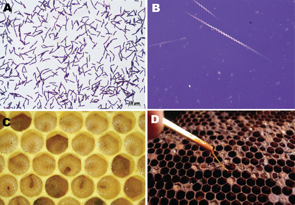 Paenibacillus larvae gram-positive, spore-forming, rod-shaped bacteria (A) (Gram stain, original magnification ×1,000) with the ability to form giant whips upon sporulation (B) (nigrosine stain, original magnification ×1,000). In American foulbrood (AFB), newly hatched honey bee larvae become infected through ingestion of brood honey containing P. larvae spores. After germination and multiplication, infected bee larvae die within a few days and are decomposed to a ropy mass, which releases milli