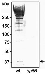 Thumbnail of Detection of high molecular weight PitB polymers in invasive isolates of Streptococcus pneumoniae. Western blot of cell wall extracts from strains GA41070 (lane 1) and GA41070ΔpitB (lane 2) detected with anti-PitB antiserum. Monomeric PitB (arrow) and the marker sizes are indicated.