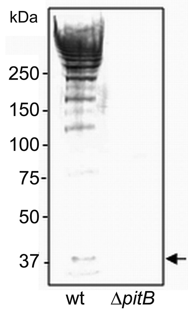 Detection of high molecular weight PitB polymers in invasive isolates of Streptococcus pneumoniae. Western blot of cell wall extracts from strains GA41070 (lane 1) and GA41070ΔpitB (lane 2) detected with anti-PitB antiserum. Monomeric PitB (arrow) and the marker sizes are indicated.