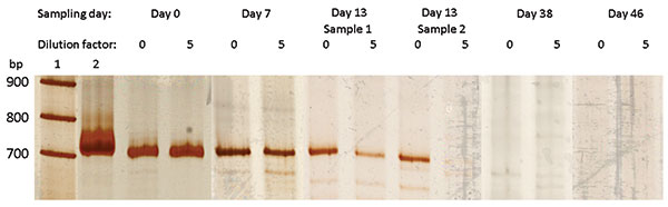 Polyacrylamide gel electrophoresis (SDS-PAGE) analysis of broad range 16S rRNA gene PCR products obtained from blood samples. Lane 1, marker, 100 bp DNA ladder (Roche DNA Marker XIV); lane 2, positive control, Escherichia coli; following lanes, PCR products obtained from blood specimens arranged by date of collection. For each specimen PCR products are shown obtained with undiluted (0) and 5×-diluted (5) DNA extracts. The 2 last negative samples are not shown.
