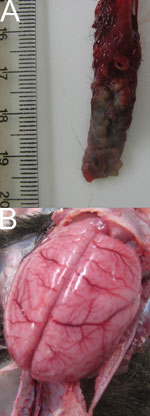Thumbnail of Gross lesions caused by human herpesvirus 1 infection in marmosets. A) Vesicular and necrotic plaques in tongue. B) Marked brain congestion. Scale shown in centimeters.
