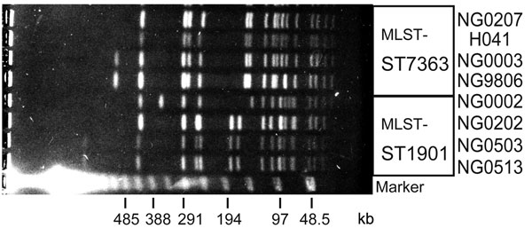 Pulsed-field gel electrophoresis patterns of ceftriaxone-resistant Neisseria gonorrhoeae strain H041 and other multilocus sequence typing (MLST) ST7363 and ST1901 strains. SpeI-digested genomic DNA from ceftriaxone-resistant N. gonorrhoeae H041, 3 of the MLST ST7363 strains and 4 of the MLST ST1901 strains were analyzed by pulsed-field gel electrophoresis. A lambda ladder standard (Bio-Rad, Hercules, CA, USA) was used as a molecular size marker.