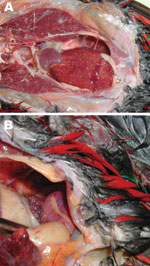 Thumbnail of Images from necropsy of yellow-bibbed lorikeet that died of melioidosis, showing multiple diffuse nodular lesions in the liver (A) and spleen (B). Photographs by Jodie Low Choy.