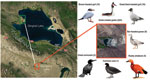 Thumbnail of Location in Qinghai, China, of dead birds that were tested for avian influenza virus (H5N1), with images and common names of bird species tested. Red box indicates Gengahai Lake, where dead birds were detected, and green box indicates Bird Islet of Qinghai Lake; the distance between them is 90 km. Numbers of dead birds of each species are indicated in parentheses.