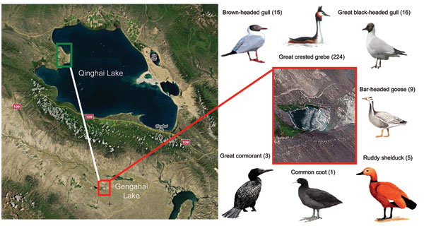 Location in Qinghai, China, of dead birds that were tested for avian influenza virus (H5N1), with images and common names of bird species tested. Red box indicates Gengahai Lake, where dead birds were detected, and green box indicates Bird Islet of Qinghai Lake; the distance between them is 90 km. Numbers of dead birds of each species are indicated in parentheses.