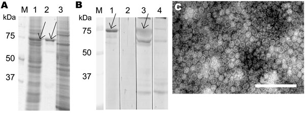 Parvovirus 4 (PARV4) virus-like particle (VLP) expression and immunoreactivity, Finland. A) Sodium dodecyl sulfate–polyacrylamide gel electrophoresis of PARV4-like particles in Spodoptera frugiperda armyworm (Sf)9 cells (lane 1), purified VLPs (lane 2), and uninfected Sf9 cells (lane 3). B) Western blotting with PARV4 immunoglobulin (Ig) G–positive serum (lanes 1, 3, and 4) or PARV4 IgG–negative serum (lane 2). Lanes 1 and 2, purified VLPs as antigen; lane 3, Sf9 cells expressing VLPs; lane 4, S