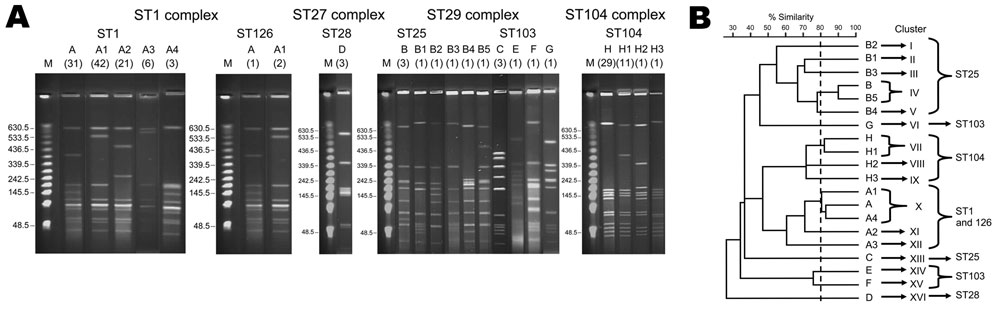 A) Pulsed-field gel electrophoresis profiles of 165 human isolates of Streptococcus suis serotype 2, after SmaI digestion. Numbers of isolates are indicated in parentheses below pulsotype numbers. B) Dendrogram generated from the pulsed-field gel electrophoresis profiles. ST, sequence type.