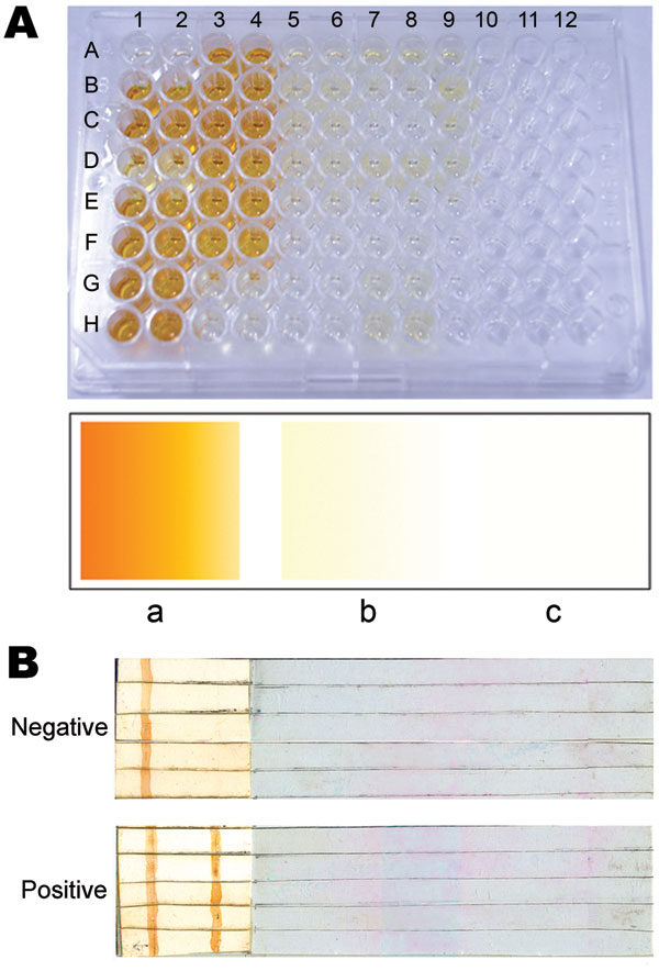 Representative results of ELISA and dipstick testing. A) Samples underwent ELISA in duplicate. Upper panel, positive samples in duplicate (1–2 and 3–4) in wells A–H, except A1–A2 (blank), and G3–G4 and H3–H4 (negative controls). Wells in columns 5–10 represent different negative controls in duplicate (5–6, 7–8, and 9–10), except F9–F10, G9–G10, H9–H10, and all wells in columns 11–12 (unused wells). Lower panel, the reference color card: a, positive; b, negative; c, blank. B) Dipstick test result