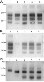 Thumbnail of Western blot analysis of protease-resistant prion protein in 2 CH1641-like sheep isolates (06-017, lane 3; 06-287, lane 4) detected by Bar233 (A), P4 (B), and SAF84 (C) antibodies. These samples were compared with 2 sheep-passaged scrapie isolates (SSBP/1, lane 1; CH1641, lane 5) and an isolate from a sheep experimentally infected with classical spongiform encephalopathy (SB1, lane 2). Samples in panel C were deglycosylated with peptide N-glycosidase F before Western blot analysis.