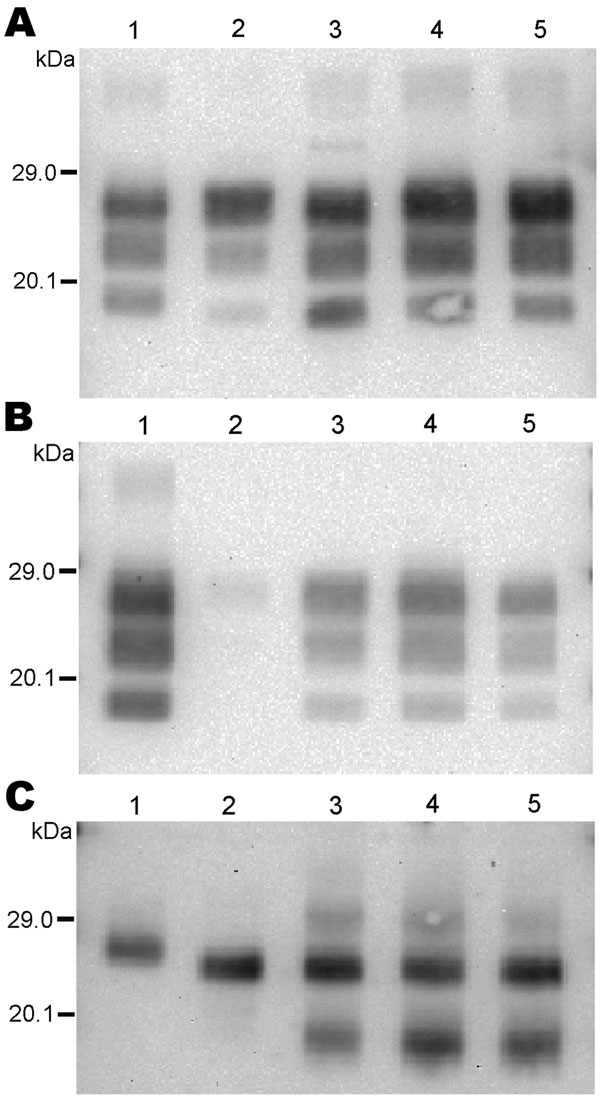Western blot analysis of protease-resistant prion protein in 2 CH1641-like sheep isolates (06-017, lane 3; 06-287, lane 4) detected by Bar233 (A), P4 (B), and SAF84 (C) antibodies. These samples were compared with 2 sheep-passaged scrapie isolates (SSBP/1, lane 1; CH1641, lane 5) and an isolate from a sheep experimentally infected with classical spongiform encephalopathy (SB1, lane 2). Samples in panel C were deglycosylated with peptide N-glycosidase F before Western blot analysis.