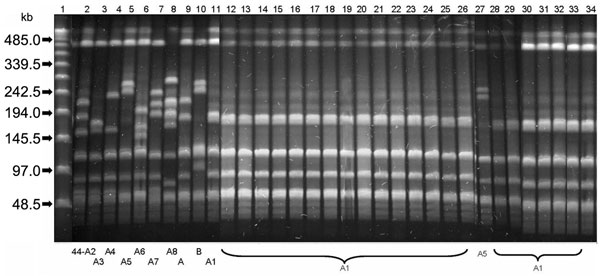 Pulsed-field gel electrophoresis (PFGE) patterns of SmaI-restricted chromosomal DNA of Streptococcus pyogenes emm44 strains. Lane 1, Bacteriophage Lambda ladder PFGE Marker (New England Biolabs Inc., Beverly, MA, USA); lanes 2–11, PFGE patterns 44-A2, 44-A3, 44-A4, 44-A5, 44-A6, 44-A7, 44-A8, 44-A, 44-B, and 44-A1 of emm44 unrelated control strains; lanes 12–26 and 28–34, 22 identical 44-A1 PFGE patterns shared by the tetracycline-resistant outbreak isolates; lane 27, PFGE pattern 44-A5 of the n