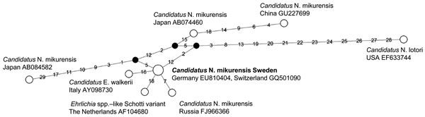 Phylogenetic network of 16s rRNA sequences (1,231 bp) from Candidatus Neoehrlichia mikurensis, southern Sweden, 2008. Black nodes indicate intermediate inferred sequences on the most parsimonious route between observed sequences. Numbers on branches represents mutations, numbered according to nucleotide position in the alignment. The sequence obtained in this study is shown in boldface and is identical with sequences from human patients in Germany (3) and Switzerland (2). The Japanese reference