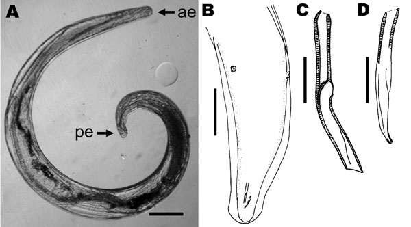 Parasitic nematode isolated from the eye of the patient, a 29-year-old man from Brazil. A) Nematode that was removed from the iris, showing anterior (ae) and posterior (pe) extremities. Scale bar = 200 µm. B) Caudal region, subdorsal view, showing lateral alae, spicules, and the 2 postdeirids. Scale bar = 150 µm. C) Left spicule; D) right spicule. Scale bars = 20 µm.