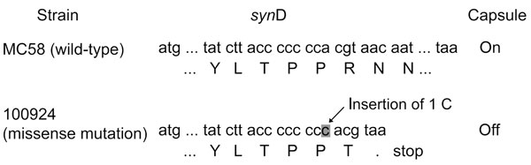 Genetic basis for the Neisseria meningitidis strain that cannot be placed in a known serogroup. A predicted slipped-strand mispairing occurred within synD, which encodes the serogroup B sialyltransferase. In wild-type N. meningitidis serogroup B (MC58), the synD polyC tract contains 7 C residues, and capsule is expressed. When an insertion (as in isolate 100924) of 1 C residue occurs, a result of local denaturation and mispairing followed by replication or repair, a premature stop codon is gener