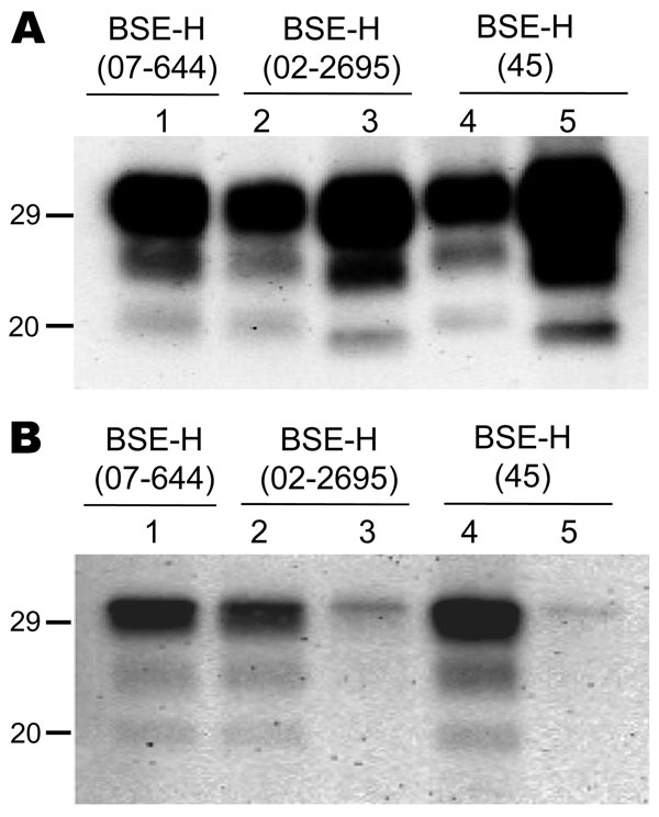 Comparative Western blot analyses with Sha31 and 12B2 monoclonal antibodies (mAbs) of brain protease-resistant prion protein (PrPres) from BSE-H–infected mice. Mice infected with isolate 07-644 (lane 1), 02-2695 (lanes 2 and 3), or 45 (lanes 4 and 5) at first passage showing either high-type (lanes 1, 2, and 4) or classical BSE–like PrPres molecular profile (lanes 3 and 5). Panel A was shown with Sha31 mAb; panel B was shown with 12B2 mAb. The same quantities of PrPres were loaded in both panels
