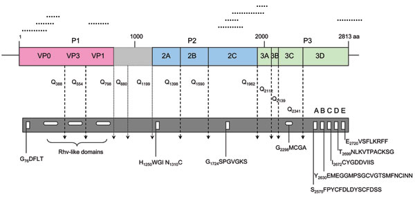 Predicted turkey hepatitis virus (THV) genome organization based on sequence comparison to known picornaviruses. Dotted lines above the genome depict the location of the original sequences obtained by high-throughput sequence analysis. Conserved picornaviral motifs and predicted potential cleavage sites along the coding region are indicated in the bar below.