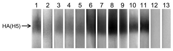 Western blot analysis of virus neutralization (VN)–positive raccoon serum specimens. A/whooper swan/Mongolia/4/05 (H5N1) virus (clade 2.2) was purified through a 25% sucrose cushion and used as an antigen under nonreducing conditions in the Western blot assay. After blocking with 5% skim milk, each raccoon serum specimen (1:100 dilution) was incubated for 1 h and then reacted with horseradish peroxidase (HRP)–labeled protein A/G (Pierce Chemical Co., Rockford, IL, USA) and subjected to chemilumi
