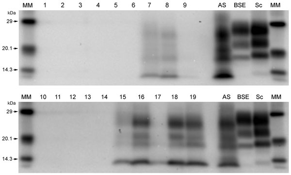 Western immunoblots showing clear atypical scrapie profiles in sheep in the following brain regions; brainstem of donor ARRa (lane 7), frontal cortex of donor ARRb (lane 8) and frontal cortex of donor AHQ (lane 19). The hippocampus and basal nuclei of recipient animal 11 (lanes 15 and 16, respectively) and cerebellum of recipient animal 12 (lane 18). No discernible signal was seen in the medulla of donor ARRb (lane 9), and only a faint profile was visible for the obex of recipient animal 12 (lan
