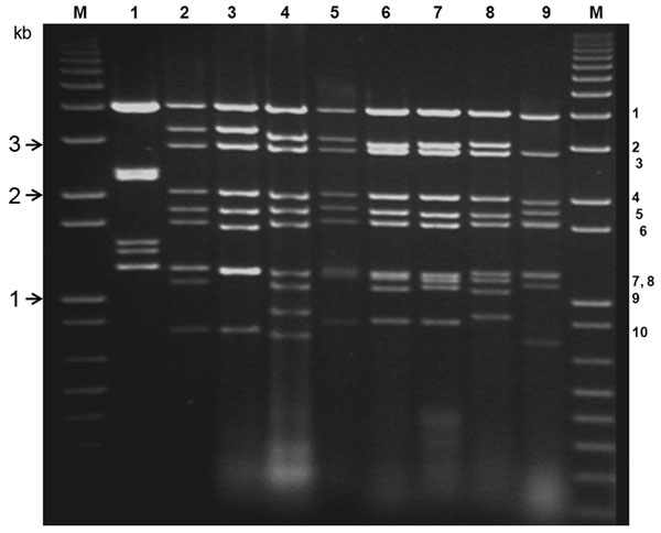 Electrophoretic analysis of genomic double-stranded RNAs from the Orbivirus species and mammalian orthoreoviruses. Bluetongue virus double stranded RNA preparations were analyzed by electrophoresis in a 1% agarose gel containing 0.5 μg/mL ethidium bromide and visualized by exposure to ultraviolet light. Genome segments are numbered, in order of decreasing molecular weight. DNA markers were run (lanes M) to enable estimation of molecular weights. Lane 1, orthoreovirus (MOR2004/01); 2, equine ence