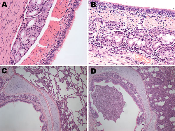 Hematoxylin and eosin–stained trachea and lung controls and samples from pigs infected with pandemic (H1N1) 2009 virus. A) Control trachea sample; B) mixed inflammatory cell infiltrate present throughout trachea sample from infected pig. C) Control lung sample; D) mixed inflammatory infiltrate and interstitium broadening in lung sample from infected pig. Original magnifications: panels A and B, ×40; panels C and D, ×10.